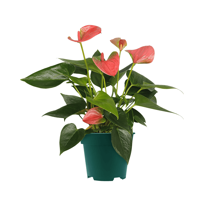 Sweet_Dream_9cm anthurium