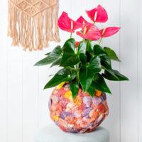 Colorado Anthurium - Amazone Plants