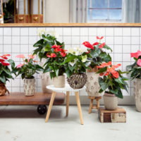 Mix Anthurium - Amazone Plants