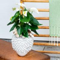 Samora Anthurium - Amazone Plants