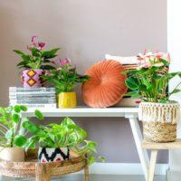 Anthurium Amazone Plants 1