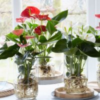 Anthurium Amazone Plants