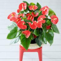 Madural Anthurium - Amazone Plants