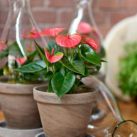 Sweet Dream Anthurium - Amazone Plants