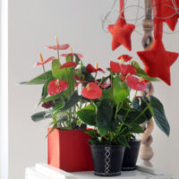Turenza anthuriums in kerstsferen