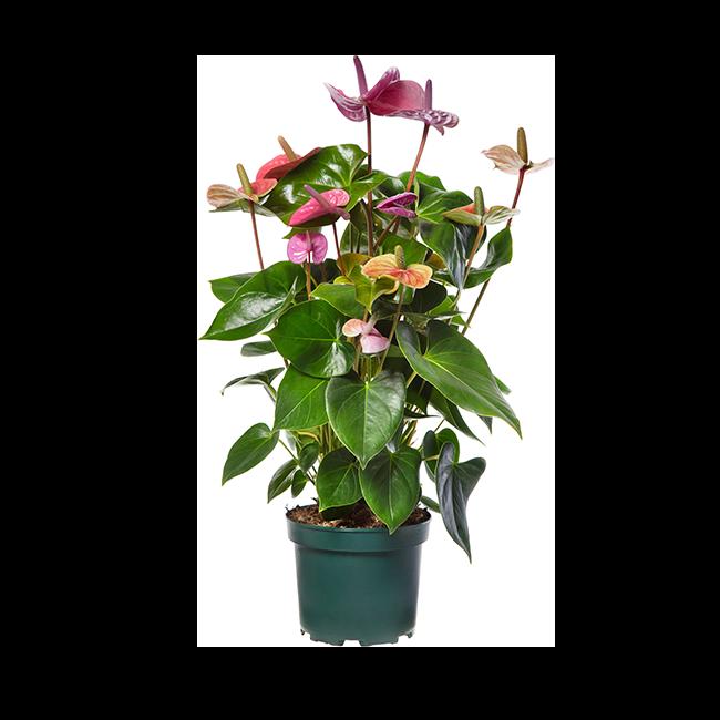 Amazone Plants Cavalli 17cm assortiment