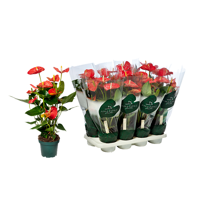 Sierra Orange anthurium-tray-14cm