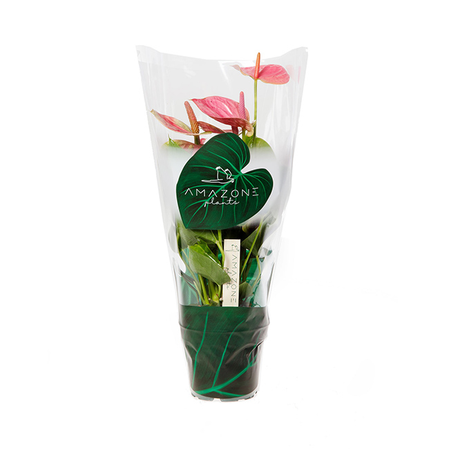 Sweet dream anthurium-12cm